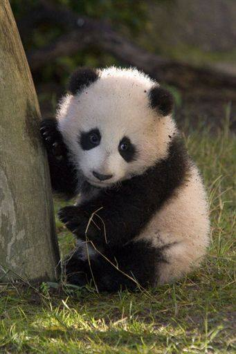 Single panda needs love!
