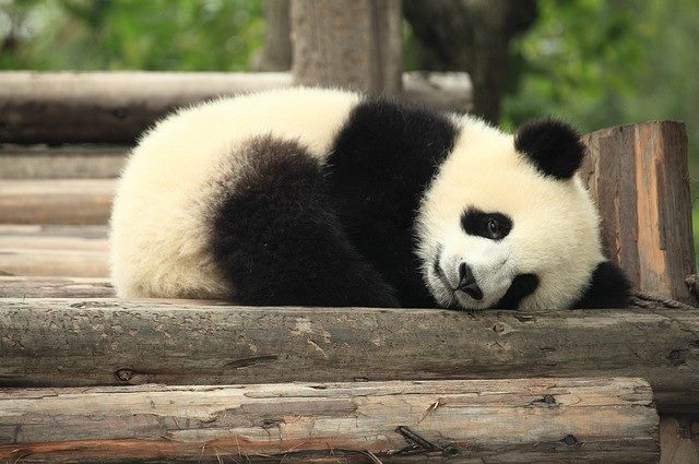 Sleeping panda! Love Monday!