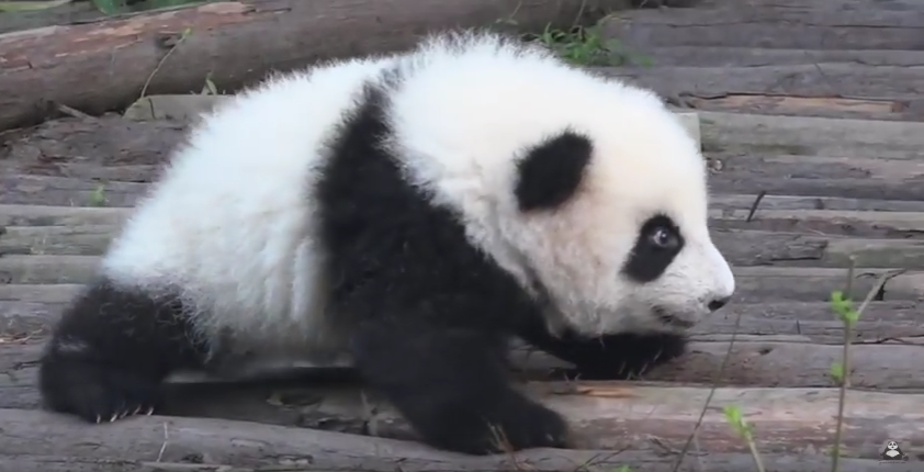 Panda baby trying to do first steps