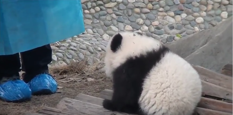 Baby Panda trying to scare a man !