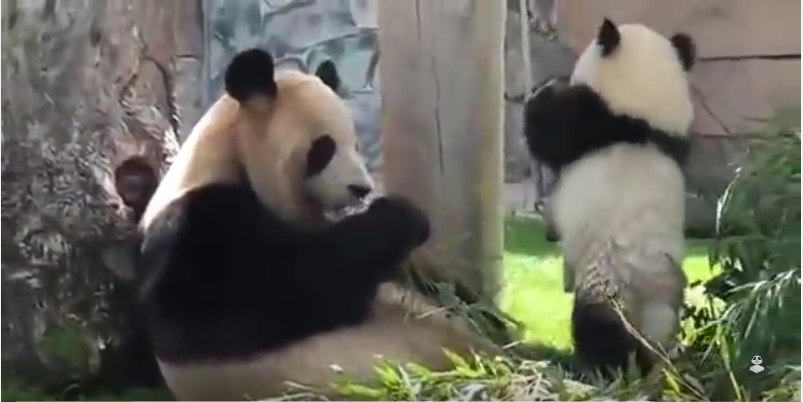 Baby panda playing with her mom!