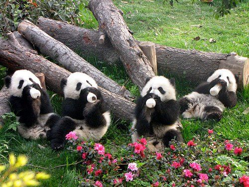 Baby panda breakfast time