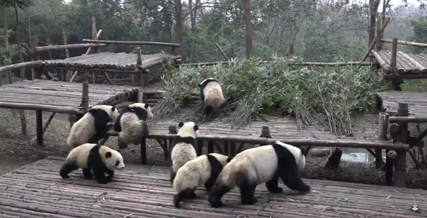 Group of pandas are going outside after a long period of time!