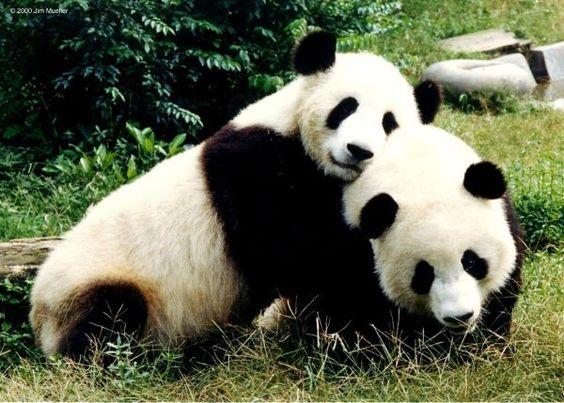 Huge Panda Hug