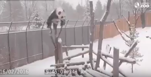 Kung Fu Panda in real life!