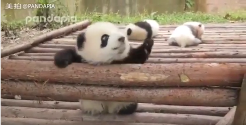 Little panda loves playing!