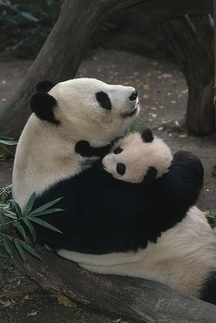 Mothers love from Pandas