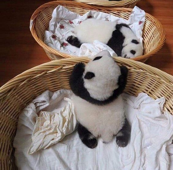 Baby panda nap time