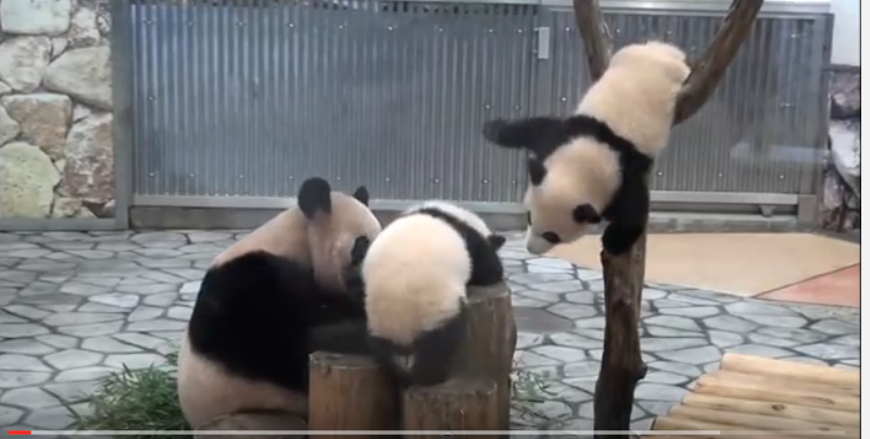 Twins Panda Babies playing and falling down !