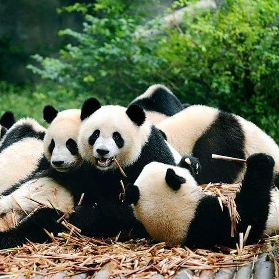 Panda Group Photo