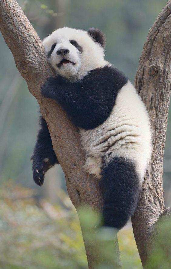 Sweet dreams for panda lovers