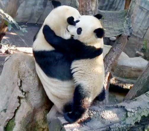 Panda-Videos.net Pandas Funny Videos