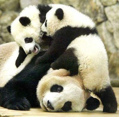 Panda kids and mom.. This looks like our life...
