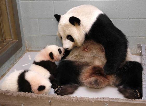 Panda Mother v.1