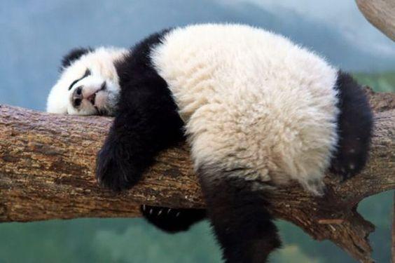 Panda needs a nap