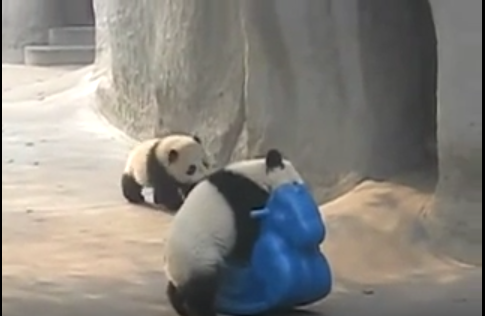 So Cute, Baby Panda on Pony!