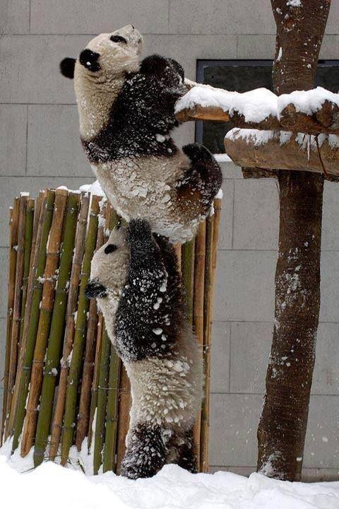 Good team work from pandas