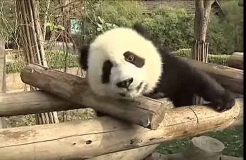 Cute Alert! Panda on the obstacle course