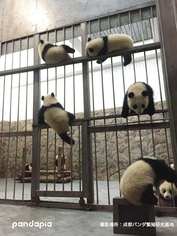 Pandas prison break!