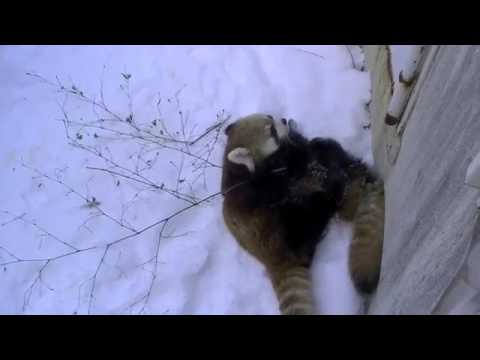 Red Panda Like To Jump!