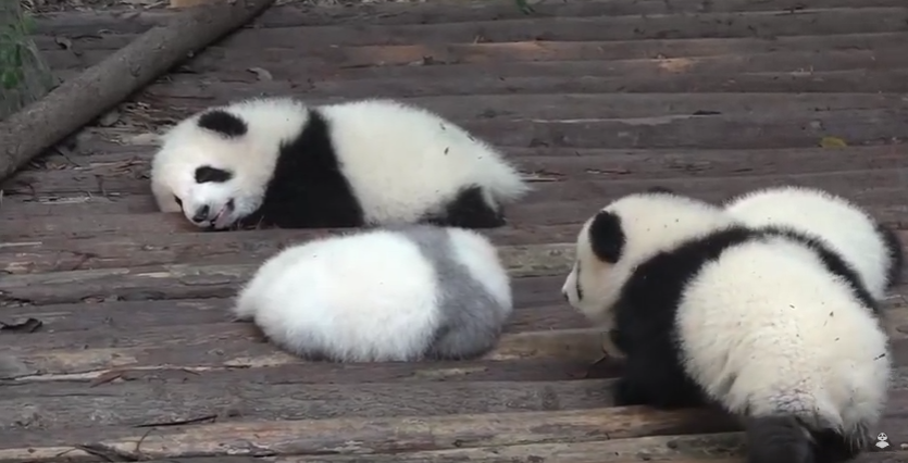 Baby Panda don't let to sleep to his brothers