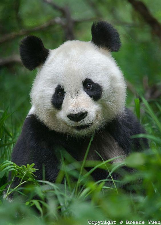 Smiling Panda!