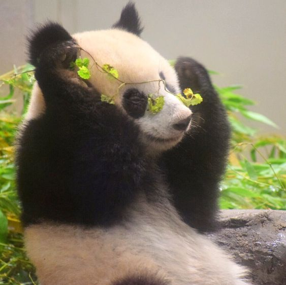 The most beautiful panda