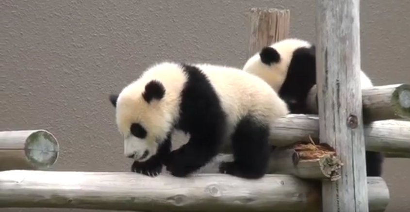 Twins Panda babies enjoying their time